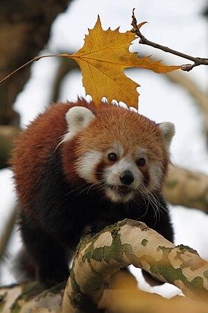 Diergaarde Blijdorp - A red panda (Ailurus fulgens fulgens) in Diergaarde Blijdorp. Blijdorp coordinates the international breeding program for this species.