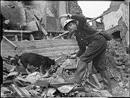 Air Raid Precautions Dog at work in Poplar, London, England, 1941 D5945