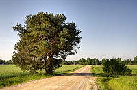 Pine tree on a country road in Akste