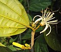 Alangium Salvifolium 05.JPG
