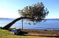 Albero, lago di Bolsena.jpg