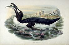 A summer Great Auk tilts its head back, swallowing a fish.