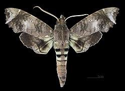 Aleuron carinata MHNT CUT 2010 0 144 Tingo Maria Peru Male dorsal.jpg