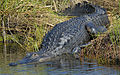 Alligator basking in the sun at Lake Woodruff - Flickr - Andrea Westmoreland.jpg