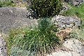 Allium montanum kz01.jpg