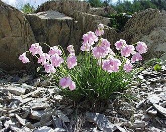 Allium narcissiflorum - Image: Allium narcissiflorum 31072004vuegénérale
