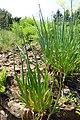 Allium pskemense kz01.jpg