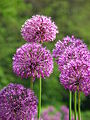 Allium sp. 02.JPG