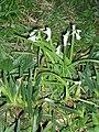 Allium triquetrum L. (AM AK292259-2).jpg