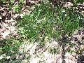 Allium triquetrum L. (AM AK317948).jpg