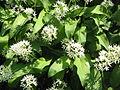 Allium ursinum05.jpg