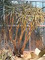 Aloe dichotoma var. ramosissima - Palmengarten Frankfurt - DSC01750.JPG