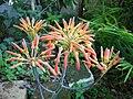 Aloe flowers (4699417847).jpg