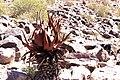 Aloe gariepensis -0478 - Flickr - Ragnhild & Neil Crawford.jpg
