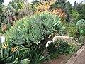 Aloe plicatilis F.jpg