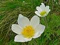 Alpine Pasque Flowers (Pulsatilla alpina) (8337454333).jpg