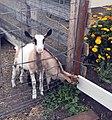 Alpine goat kids.jpg