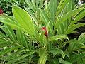 Alpinia purpurata or Red ginger from Kerala 5278.JPG