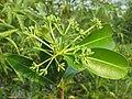 Alstonia scholaris - Scholar Tree at Thattekkadu (1).jpg