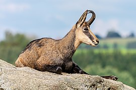 Altenfelden Chamois Rupicapra rupicapra-2076.jpg