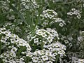 Alyssum or Lobularia maritima from Lalbagh flower show Aug 2013 8195.JPG