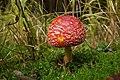 Amanita muscaria (30177256705).jpg
