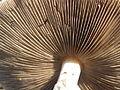 Amanita phalloides.R.H. 14.jpg