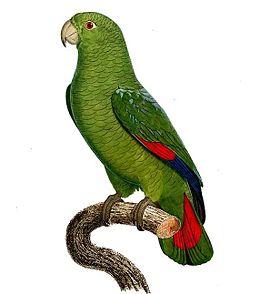 Amazona agilis - Barraband