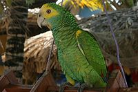 Amazona barbadensis -pet parrot-4