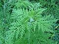 Ambrosia artemisiifolia jardin Périgueux (5).jpg
