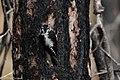 American Three-toed Woodpecker Signal Burn Gila NF NM 2017-10-18 09-02-11 (38363781574).jpg
