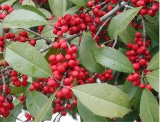Ilex opaca - Ripe fruit