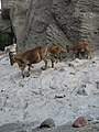 Ammotragus lervia - Hamburg, Tierpark Hagenbeck.jpg