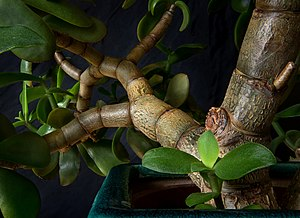 Among the branches of a potted jade plant.jpg
