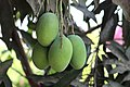 Amrapali Mango (1).jpg
