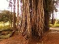 An old Banyan tree near Kummaripalem 02.jpg