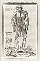Anatomical figure displaying the muscles of the torso Wellcome L0040034.jpg