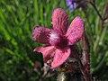 Anchusa en rosa - Miel de avispas (14060877716).jpg