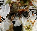 Andrena (Trachandrena) haemorrhoa - Flickr - S. Rae (1).jpg