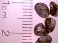 Androstephium caeruleum seed.png