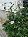 Anemone japonica01.jpg