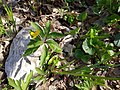 Anemone ranunculoides, Ranunculaceae 02.jpg