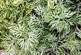 Anethum graveolens Bouquet 0zz.jpg