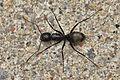 Ant (Formicidae) - Guelph, Ontario 05.jpg