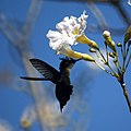 Antillean Crested Hummingbird (4451166766).jpg