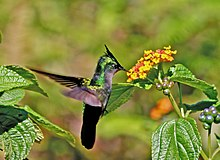 Hummingbird feeding from Lantana camara flower in Dominica.