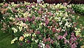 Antirrhinum from Lalbagh flower show Aug 2013 8390.JPG