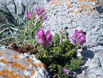 Antirrhinum majus - Antirrhinum majus subsp. linkianum