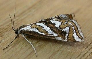 <i>Anydraula</i> Genus of moths