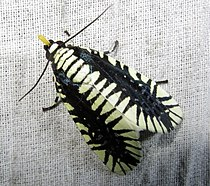 Apsarasa radians (Westwood, 1848) Noctuidae (7171693780).jpg